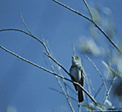 The flycatcher is heading right back to Horseshoe -- to trees that are under water.