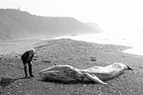 A badly decomposed gray whale on a Southern California beach.