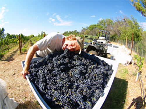 Fruits of his labor: Glomski digs into his 2008 syrah harvest.