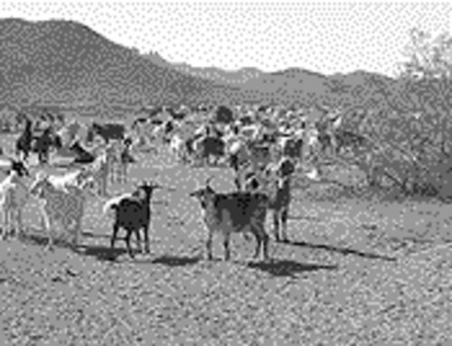 Johnson has since moved his goat herd away from the bighorn  sheep haven northwest of Tucson.