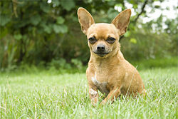"No dogs were harmed in the making of this column. Suffice it to say, this Chihuahua is not the alleged ""victim."""