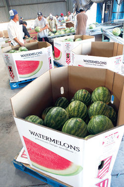 Watermelons harvested at G Farms are shipped in heavy-duty cardboard boxes to grocers in California, Illinois, and Washington.