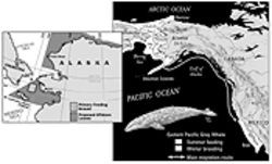 The gray whales' primary feeding ground and main migration route are within areas that the federal government wants to offer for oil and gas leases.
