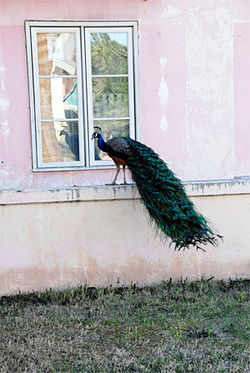 Pretty public nuisance: A Coronado peacock struts its stuff.