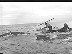A whale hunt by Siberian natives in the Chukotka region of Russia, from a video taken by the Sea Shepherd Conservation Society in 1997.