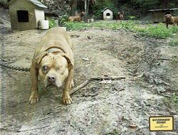 This one-eyed dog was seized from the kennel of James Milburn, a pit bull breeder and dogfighter in southern Illinois.
