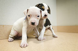 More than 150 pit bull puppies were born in an emergency rescue shelter set up by the Humane Society of Missouri.