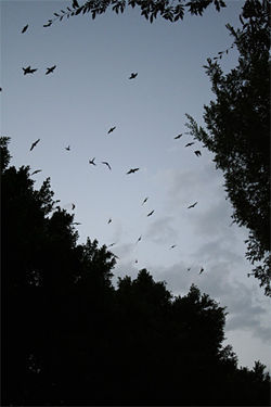 Grackles soar in and out of Mill Avenue's mature ficus trees. Bombs away!