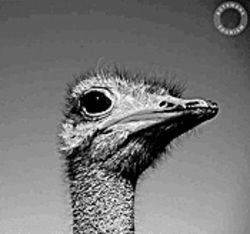 The noble ostrich, blissfully unaware that from the wings down he looks like an extra in Moulin Rouge