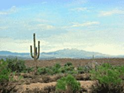 Arizona&#039;s native Saguaro is one of many green things growing in our deserts.
