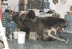 The Kodiak brown bear was big enough to be a trophy. Here, an Anchorage taxidermist works on the mount.