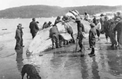 Makah tribal members butchering a gray whale in the early 1900s.
