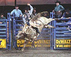 Ty one on: Murray rides one angry bull.