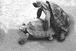 Warner Shortridge's photo of the Glendale tortoises in late March 2002