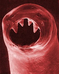 The horrifying hookworm.