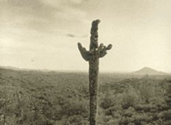 This saguaro died for your sins: The Valley's own point man for environmental photography, Mark Klett, strikes one of the show's grace notes with Bullet Riddled Saguaro Near Fountain Hills.
