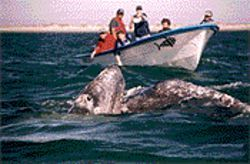 Hundreds of visitors each year travel to Laguna San Ignacio to take whale-watching trips like this one.