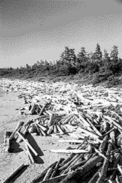 Logs washed up on a beach near Tofino are testament to the region's large timber industry.